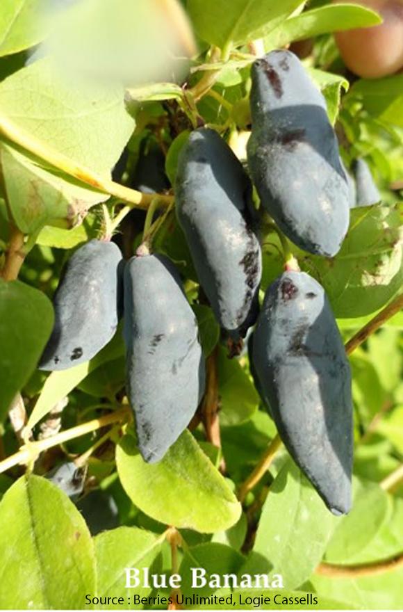 Camerisier Blue Banana